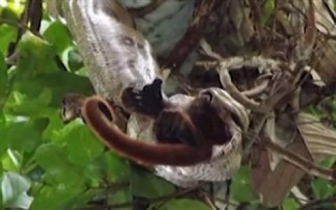 ΣΟΚ: Βόας καταβροχθίζει ολόκληρο πίθηκο