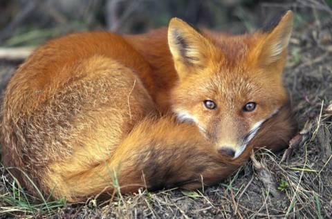 Έδεσσα: Αλεπού βρέθηκε θετική στον ιό της λύσσας