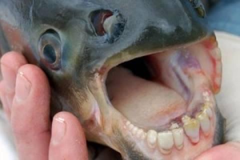 Τρόμος στο Σηκουάνα: Εντόπισαν ψάρι που τρώει... όρχεις!