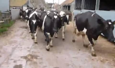Απίστευτο βίντεο: Αγελάδες βγαίνουν στο γρασίδι για πρώτη φορά