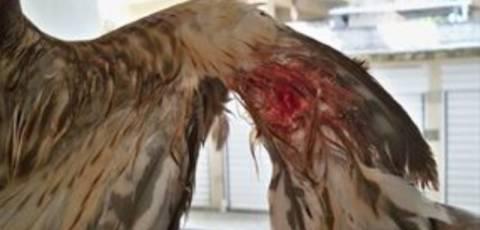 Σε έξαρση οι τραυματισμοί άγριων πτηνών στο Ρέθυμνο