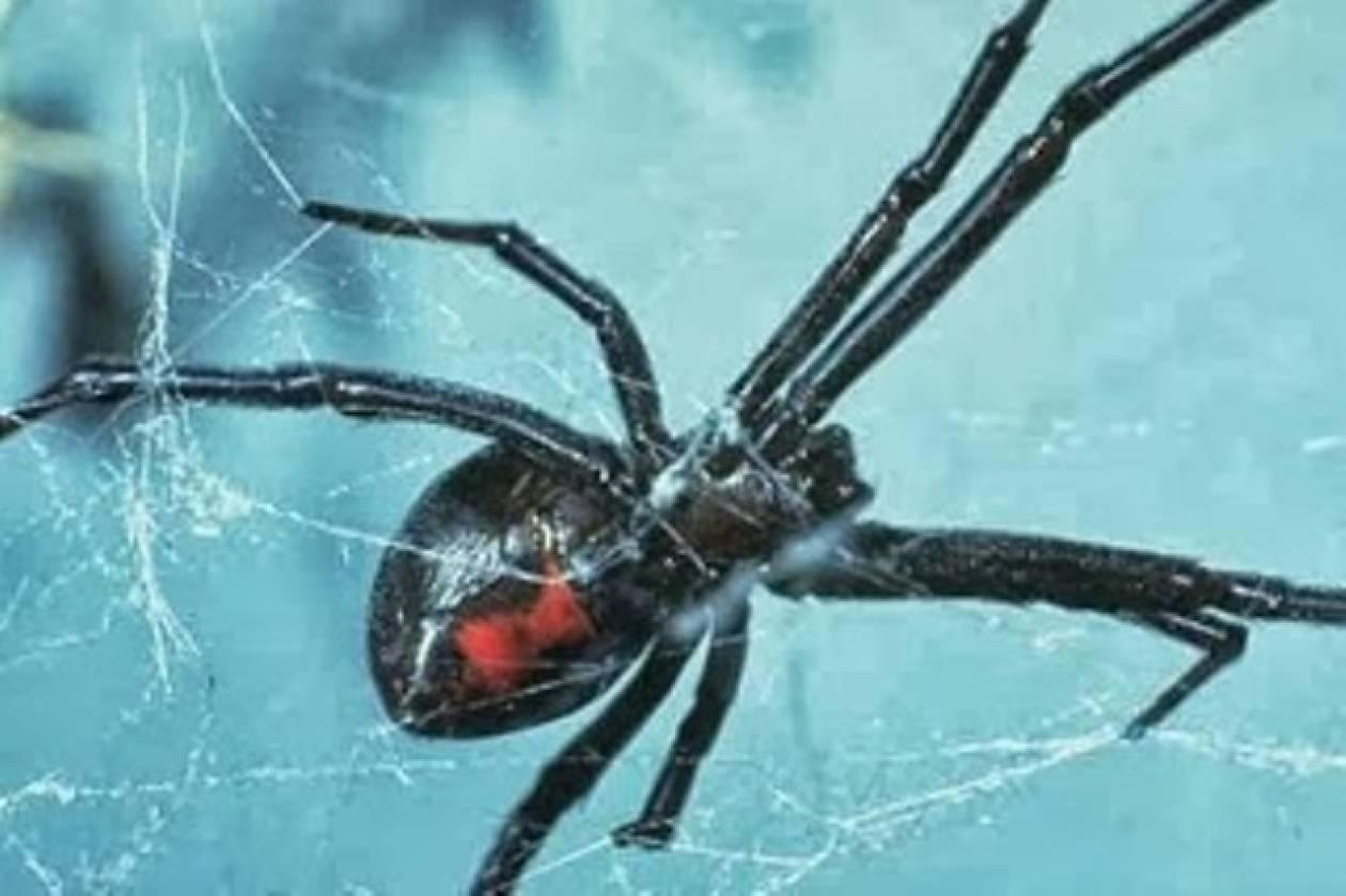 Μαύρη χήρα αράχνη σεξ