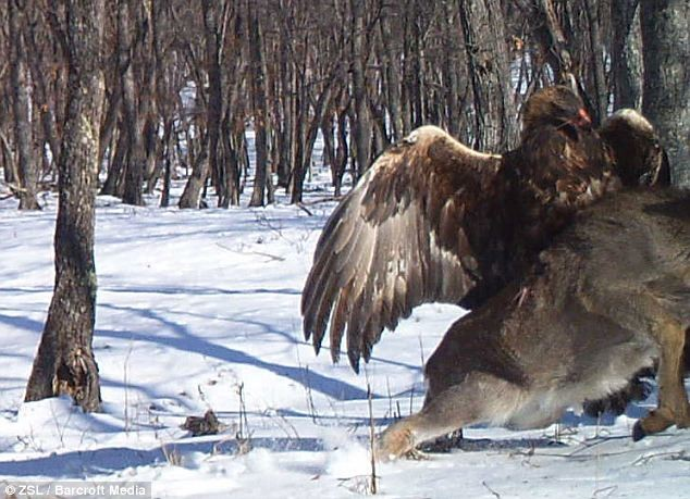 Απίστευτες εικόνες: Αετός επιτίθεται και σηκώνει στον αέρα ελάφι