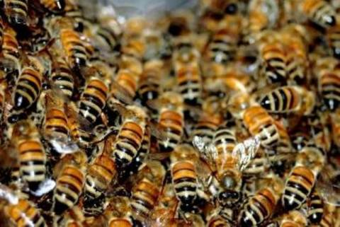 Δεκαοχτώ νεκροί σε ένα μήνα από τσίμπημα μέλισσας