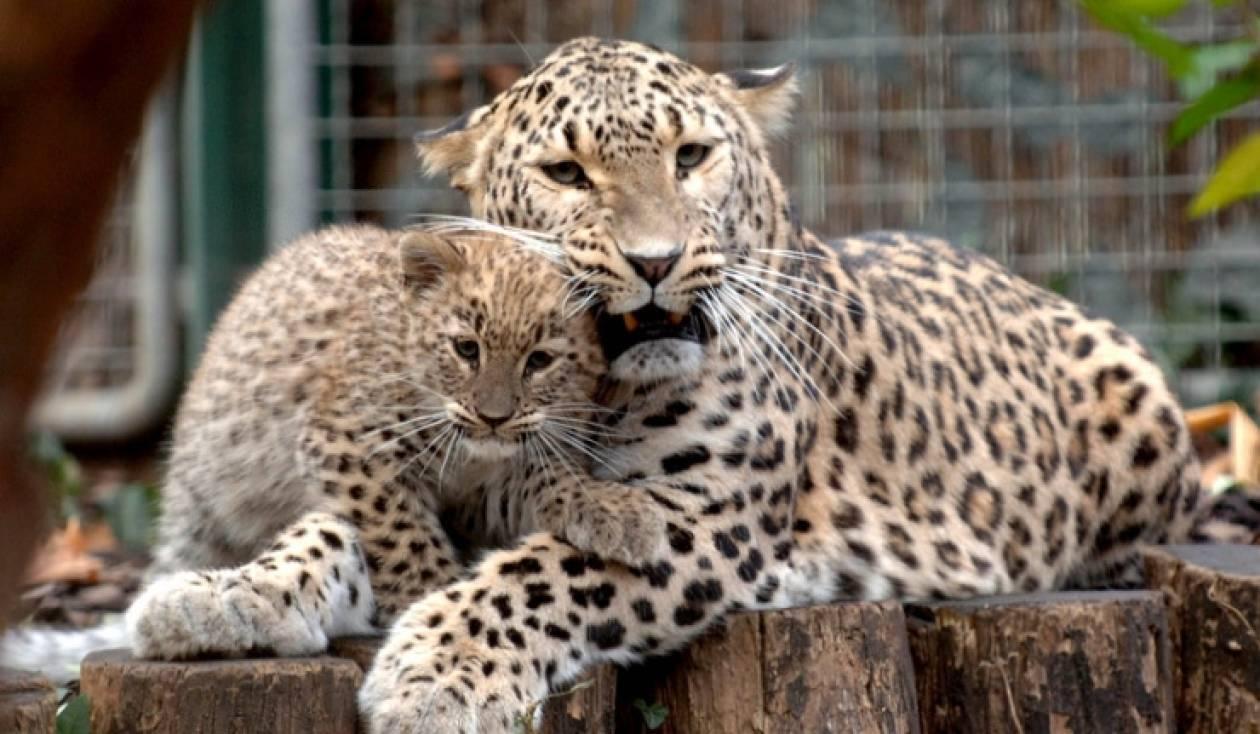 Οι λεοπαρδάλεις της Μέσης Ασίας ζουν στον Καύκασο