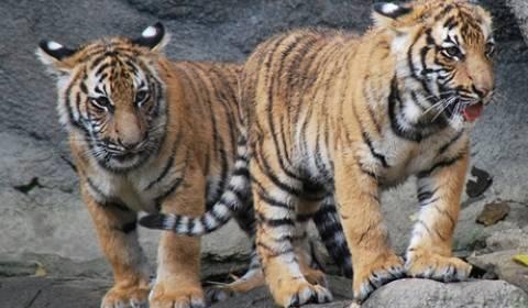 Αυξάνεται ο πληθυσμός των τίγρεων του Αμούρ