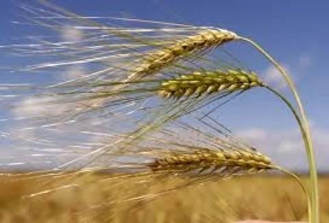 Αθηναϊκή Ζυθοποιία: Επεκτείνεται η καλλιέργεια κριθαριού στη Θράκη