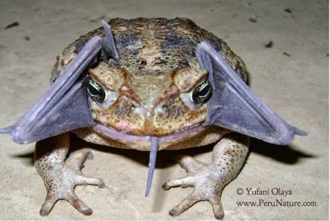 Απίστευτο! Τι έχει ο βάτραχος στο στόμα του;