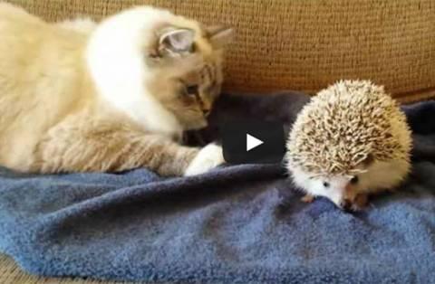 Γάτα τα βάζει με σκαντζόχοιρο (vid)
