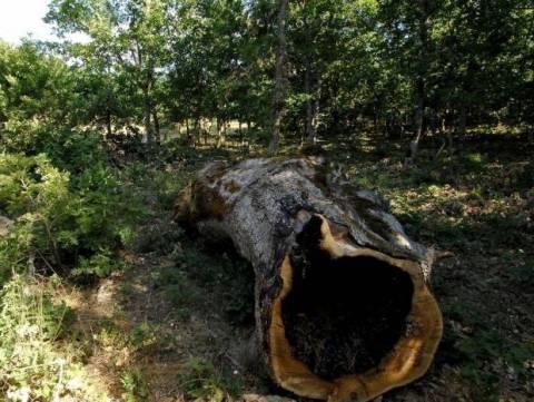 Τραγωδία στον Πολύγυρο: 63χρονος καταπλακώθηκε από δέντρο