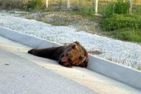 Ακόμη μία νεαρή αρκούδα θύμα τροχαίου