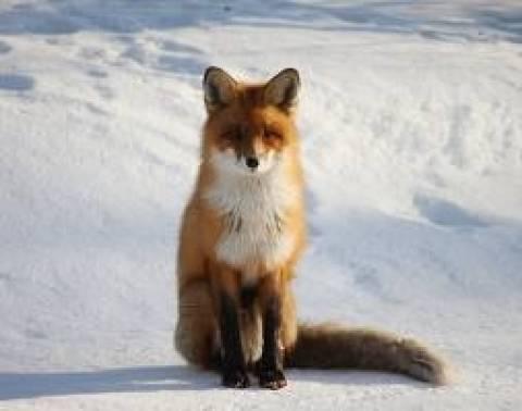 Πρόγραμμα εμβολιασμού αλεπούδων κατά της λύσσας