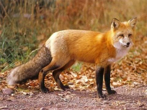 Ρίψη εναέριων αντιλυσσικών εμβολίων για τις αλεπούδες