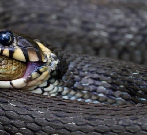 Σπάνια και βραβευμένη φωτογραφία: Δείτε τι κατάπιε ζωντανό ένα φίδι!