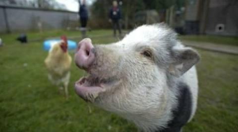 Κτηνοτρόφος δέχθηκε επίθεση από γουρούνι!