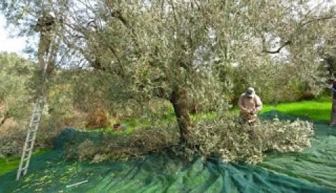 Μεγάλη συγκομιδή της ελιάς «Μαυρολίσιου» στην Πυλία