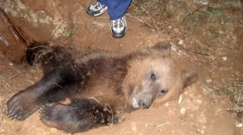 Κι άλλη νεκρή αρκούδα στην Εγνατία