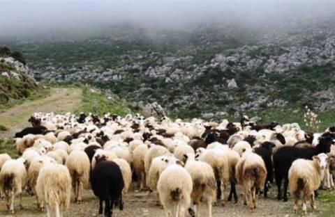 Ηλεία: 35 αιγοπρόβατα νεκρά από κεραυνό και πνιγμό στη Φιγαλεία!