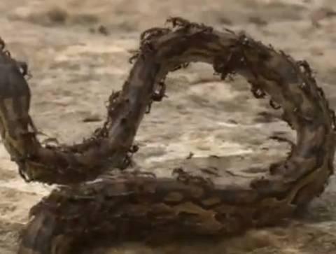 Βίντεο: Μυρμήγκια σκοτώνουν πύθωνα