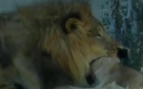 ΣΟΚ: Φονική επίθεση λιονταριού μπροστά σε επισκέπτες (vid)