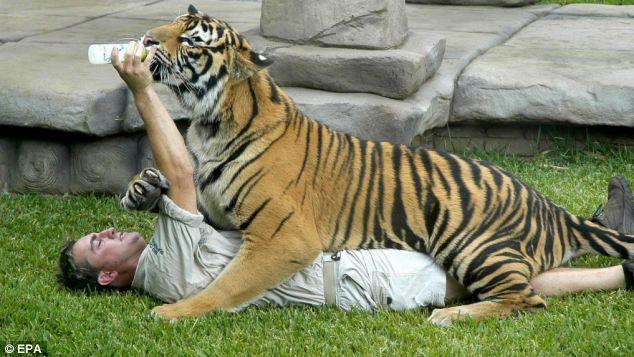 Εικόνες-ΣΟΚ: Τίγρης δάγκωσε εκπαιδευτή στο λαιμό
