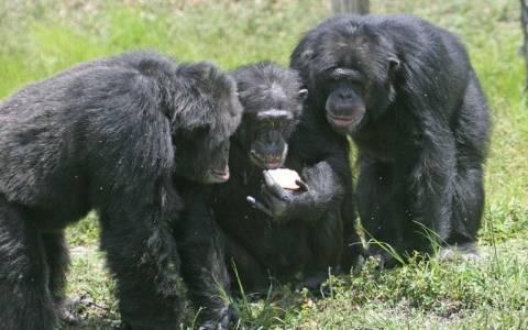 """Oργάνωση ζητά να αναγνωριστούν τα """"φυσικά δικαιώματα"""" των χιμπατζήδων!"""