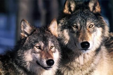 Αγέλη λύκων ρήμαξε στάνη σε χωριό των Σερρών