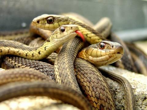 ΣΟΚ: Δεκάδες φίδια και δηλητηριώδεις σαύρες εντοπίστηκαν σε διαμέρισμα