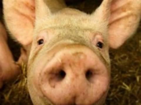 Τώρα κλέβουν μέχρι και τα... γουρούνια