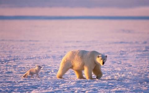 Τα κοιτάσματα της Αρκτικής απειλούν τις πολικές αρκούδες