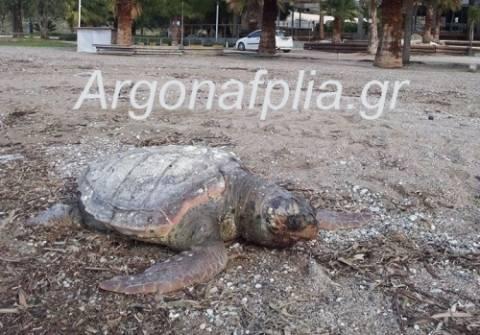 Ναύπλιο: Βρέθηκε νεκρή χελώνα καρέτα- καρέτα