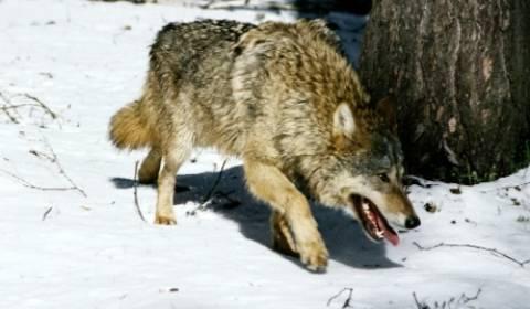 Φόβος-τρόμος οι λύκοι του Τσερνόμπιλ