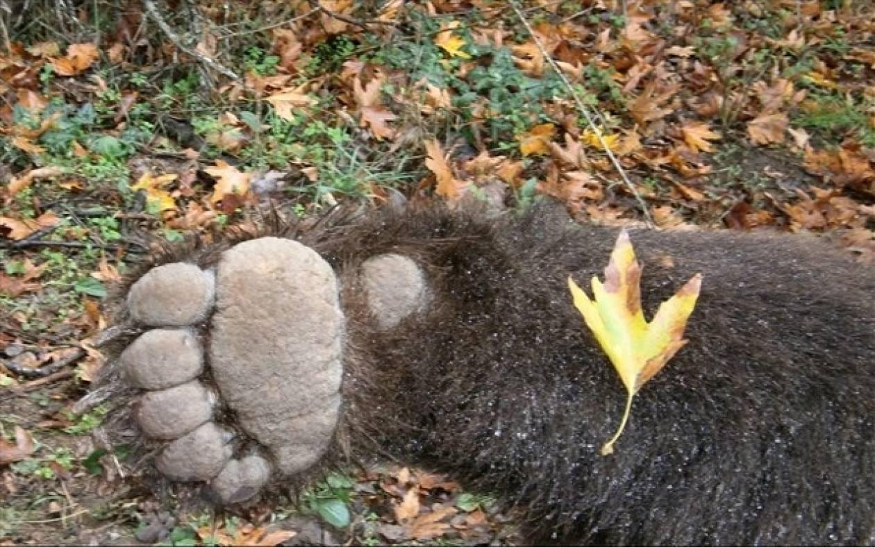 Φρίκη: Πυροβόλησαν και σκότωσαν θηλυκή αρκούδα και το μωρό της