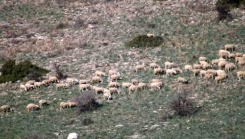 Φάρσαλα: Έκλεψαν 12 πρόβατα και ένα αρνί