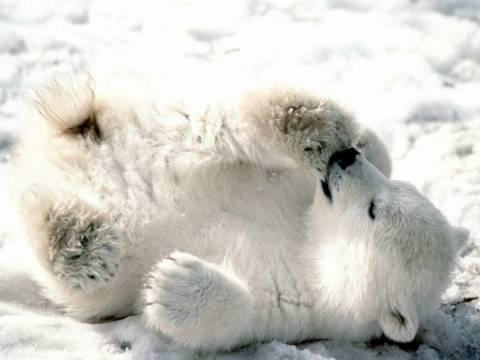Ούτε η πολική αρκούδα δεν αντέχει το ψύχος στις ΗΠΑ