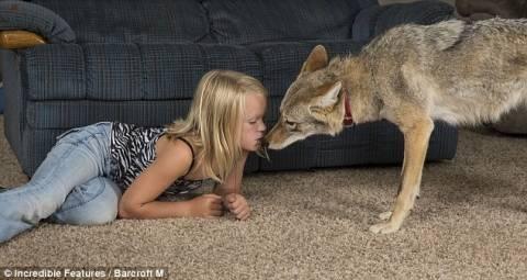 Απίστευτο! 8χρονο κορίτσι έχει Κογιότ για κατοικίδιο!