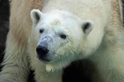 Νεκρή η «γιαγιά» πολική αρκούδα της Νότιας Αφρικής