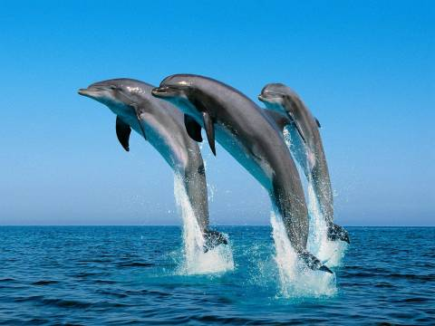 Δείτε βίντεο με δελφίνια να «παίζουν» ανοιχτά του Κρυονερίου!