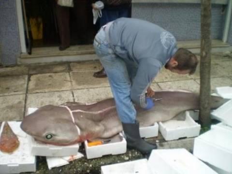 Κεφαλονιά: Ψάρεψαν γαλέο 90 κιλών!