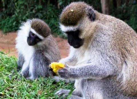 Τους κακούς και εγωιστές ανθρώπους  τους αποφεύγουν οι... πίθηκοι!