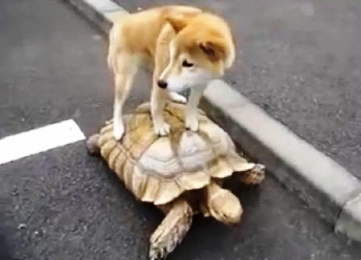 Σκύλος κάνει βόλτα πάνω σε χελώνα! (βίντεο)