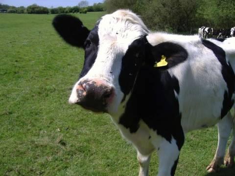 Απίστευτο: Έκρηξη σε στάβλο...προκάλεσαν τα αέρια 90 αγελάδων