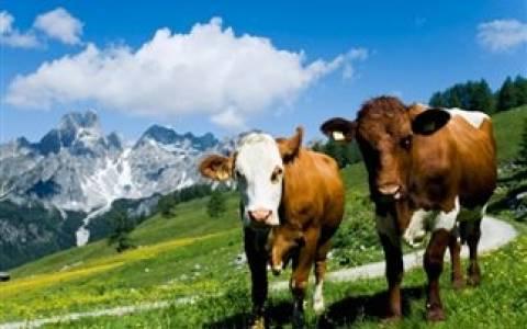 Πυρκαγιά προκλήθηκε από 90 αγελάδες στη Γερμανία που... αερίζονταν