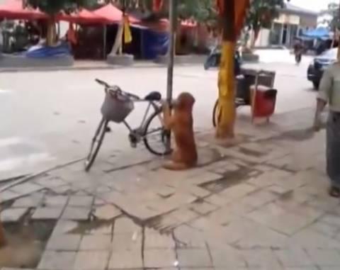 Ο καλύτερος φύλακας! Σκύλος προστατεύει το ποδήλατο του αφεντικού του!