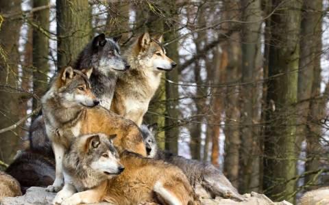 «Observer»: Η επιστροφή των λύκων στην Ευρώπη