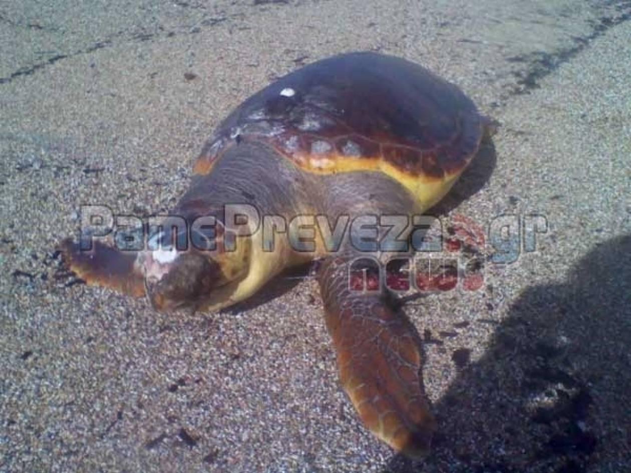 Νεκρή χελώνα στην Πρέβεζα