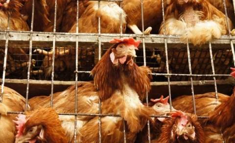 Δεν άφησαν κοτόπουλο για... κοτόπουλο