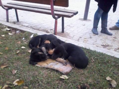 ΣΥΓΚΛΟΝΙΣΤΙΚΟ: Σκυλίτσα προσπαθεί να σώσει τα κουταβάκια της! (videos)