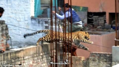 Leopard entered hospital (pics)