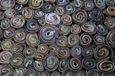 Συγκλονιστική φωτογραφία: Φίδια πριν γίνουν... τσάντες